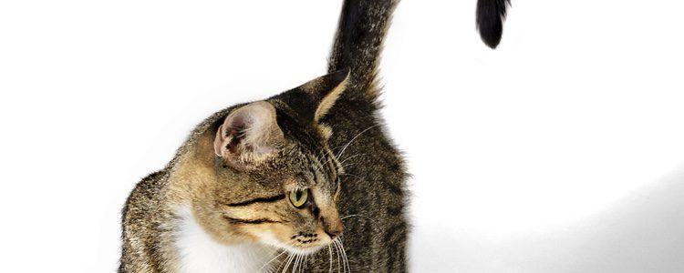 Si tu gato se encuentra mirando fijamente un punto y mueve la cola lentamente está muy concentrado
