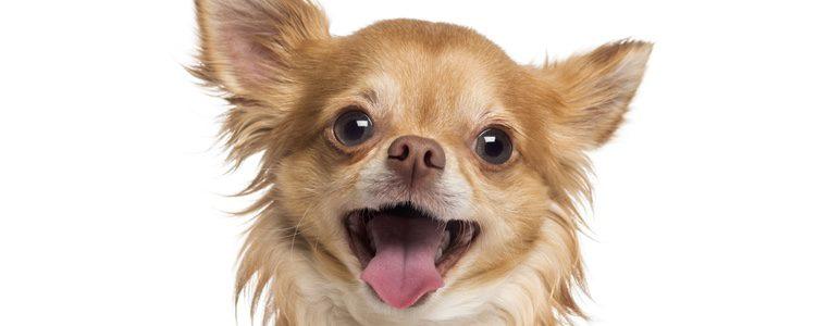 Dependiendo de la raza del perro crecerán de diferente forma en su primer año de vida