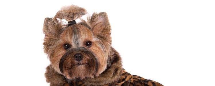 A los perros de pelo largo se les debe peinar el pelo a diario