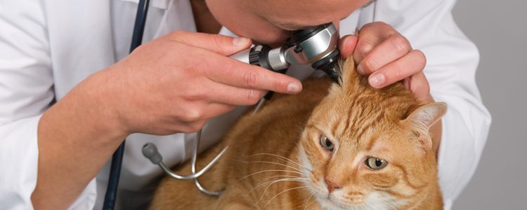 La otitis es una de las enfermedades más comunes en gatos