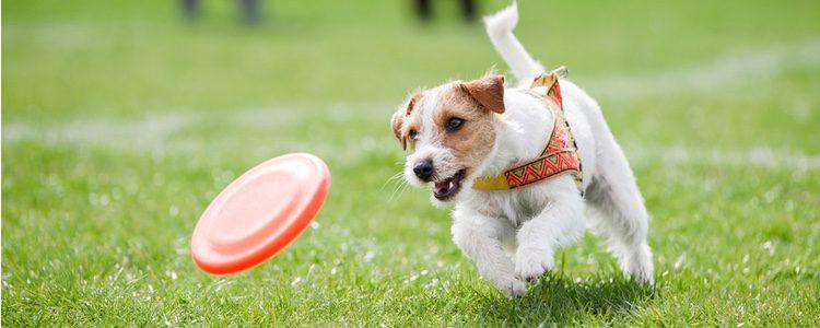 El Disc Dog se ha convertido en un deporte muy implementado por los seres humanos