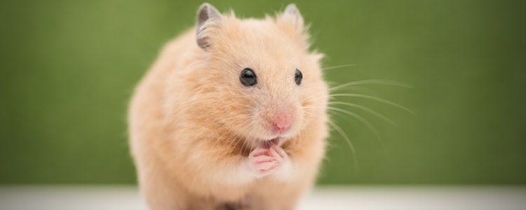 Los hamsters suelen ser sociables y dóciles