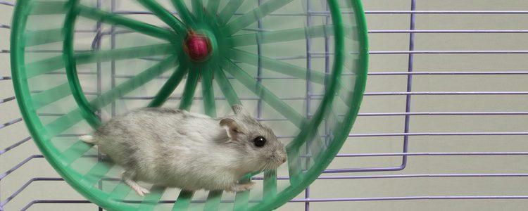 La rueda es un elemento fundamental en toda jaula para hámster