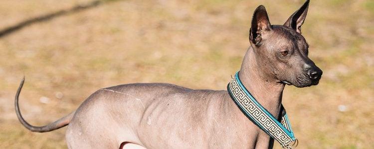 Los perros Xoloitzcuintle suelen ser bastante nerviosos de pequeños
