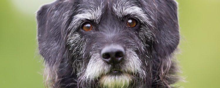 Que le aparezcan pelos blancos a tu perro es una clara señal de su envejecimiento