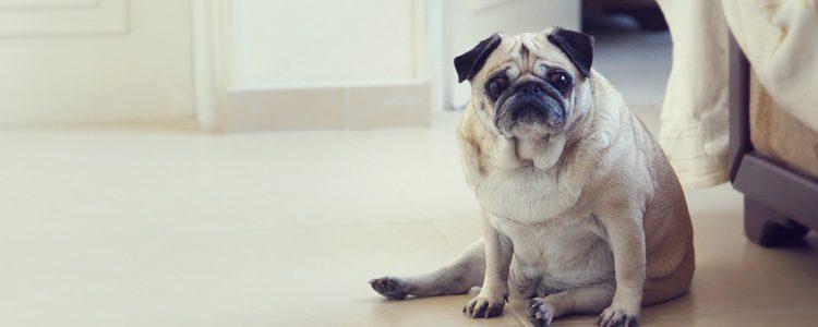 El aburrimiento puede hacer que tu perro no tenga ganas de hacer nada, ni de salir a la calle
