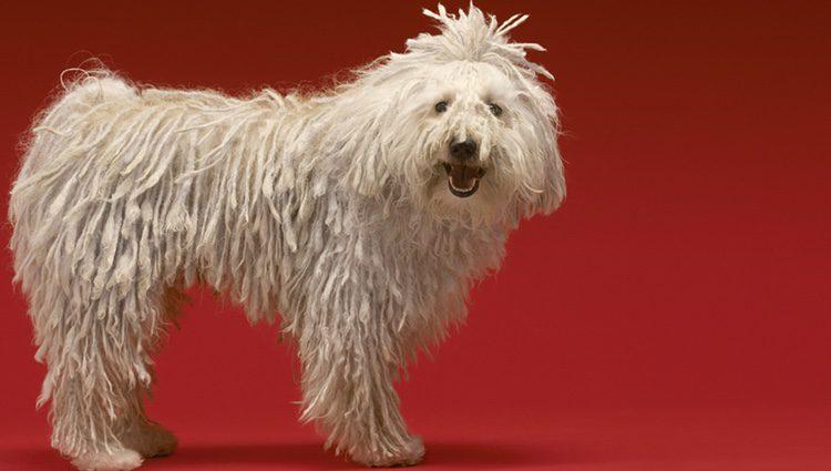 Perro Puli de color blanco