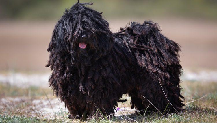 Perro Puli de color oscuro en el campo