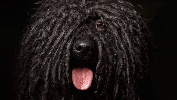 Perro Puli de color negro