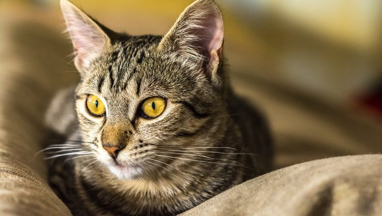 Gatos con ojos amarillos
