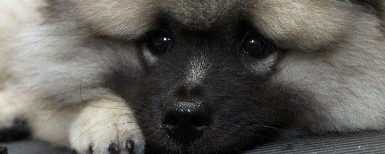 El Keeshond es un perro de origen ártico y siempre se le ha considerado animal de compañía