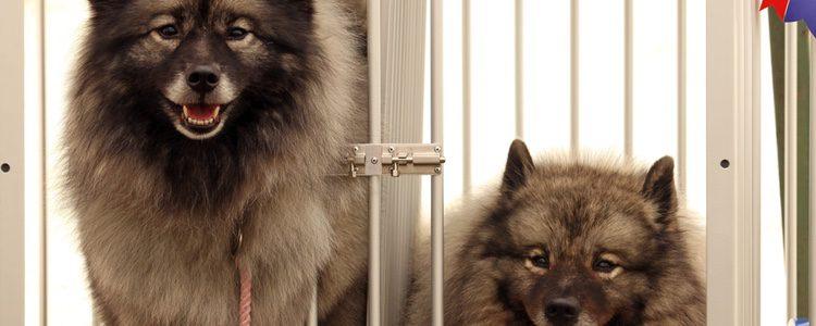 Son perros muy activos, ágiles y juguetones