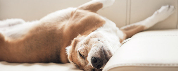 Si el perro sufre apego por nosotros, no debemos subirle al sofá con nosotros