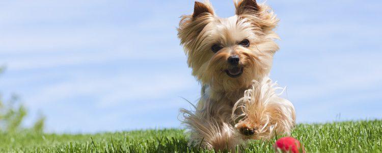 El tira y afloja hace que los perros practiquen mucho deporte