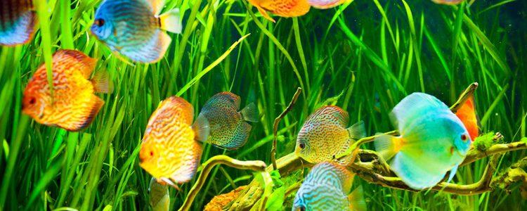 El tamaño del acuario es imprescindible para la comodidad de los peces