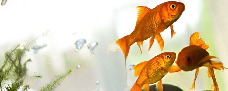 Hay peces tropicales que son más adaptables que otros, por eso es conveniente conocer sus características