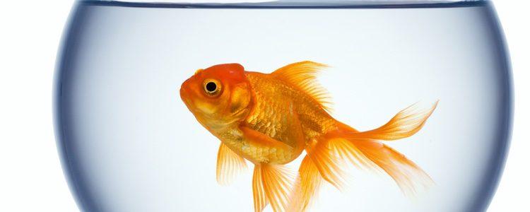 Hay que tener el acuario adecuado para que el pez viva tranquilo y cómodo