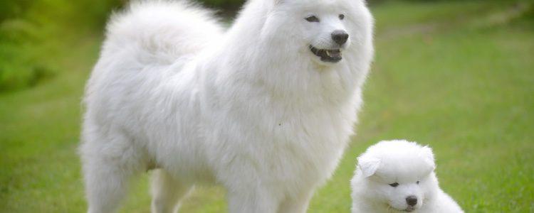 Este perro crece en torno a los 60 centímetros de altura y es un auténtico osito