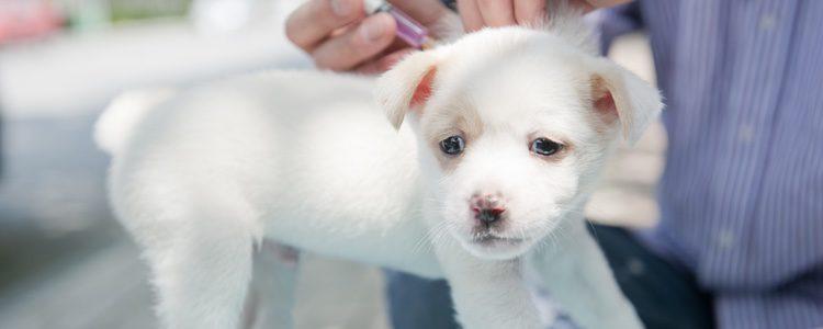 Las primeras vacunas que deberás ponerle a tu perro son cuando tenga los primeros meses de edad