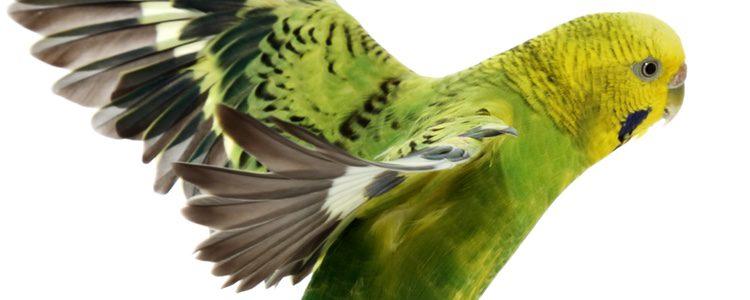 Tener un pájaro como mascota requiere mucha responsabilidad