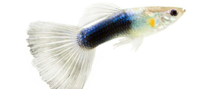 Los guppy son considerados peces ovovivíparos, fecundan los huevos dentro de sí mismos