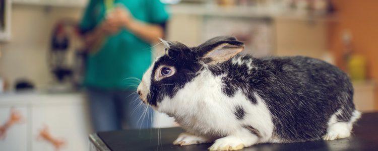 Es importante encontrar un veterinario que sepa tratar a los conejos