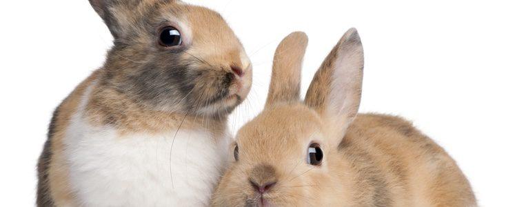 Es fundamental que elijas la raza más adecuada de conejo para tener como mascota