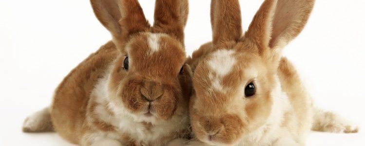 Primero debes descubrir si tu conejo es macho o hembra