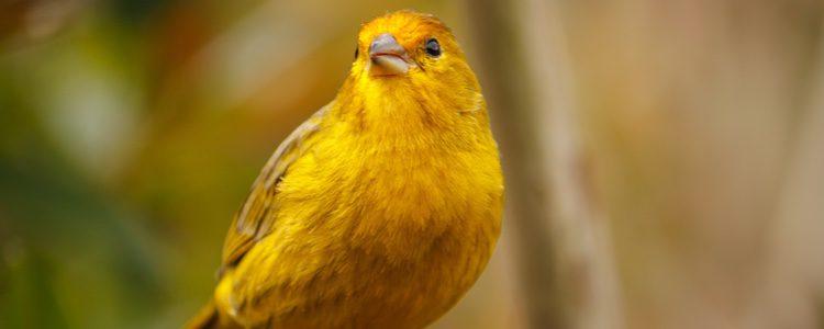 Hay que tener en cuenta que los canarios son animales domésticos y que hay que cuidarles
