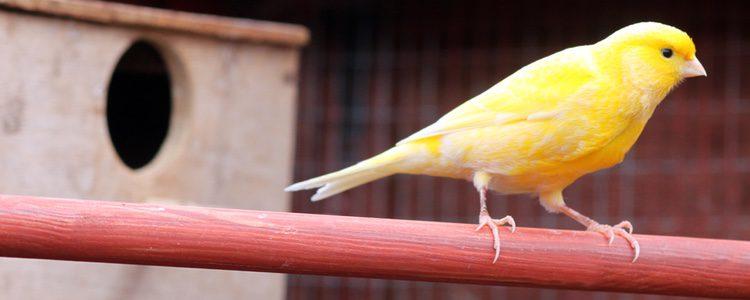 Hay que tener correctamente limpia la jaula para nuestro canario