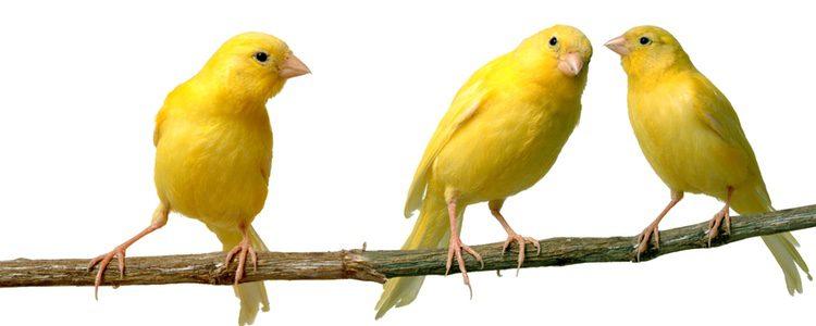 Hay que conocer muy bien las reacciones de nuestro canario