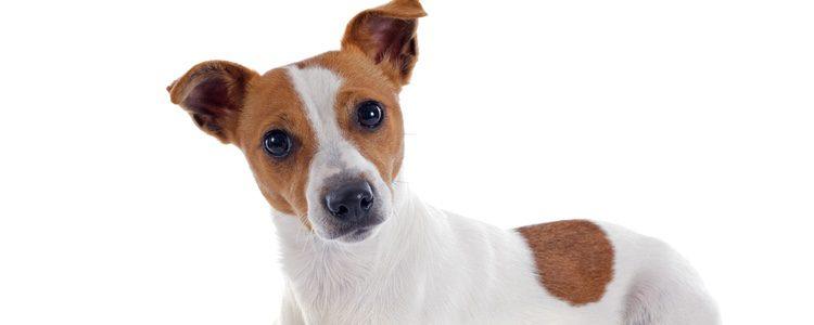 El Jack Russel Terrier es un perro muy enérgico que necesitará largas horas de diversión al aire libre para poder gastar energía