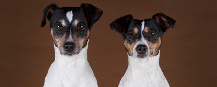 El Bodeguero Andaluz tiene un carácter muy agradable y es un perro muy doméstico