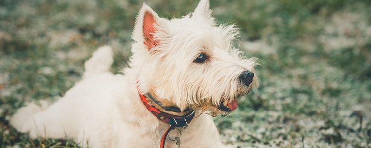 El West Highland White Terrier es el perro ideal si vives con niños pequeños