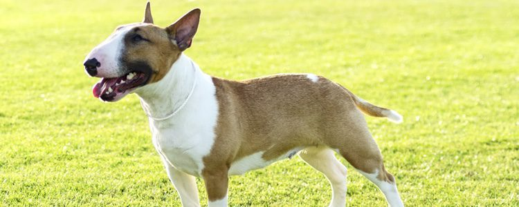 Deberás de tener cuidado con el Bull Terrier a la hora de educarlo ya que es un perro de raza peligrosa