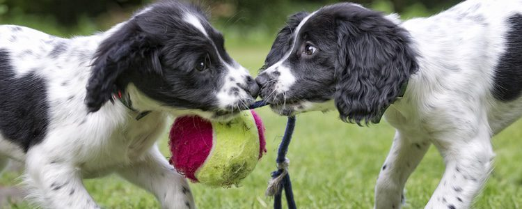 Nunca es aconsejable que se aproveche el primer celo para que nuestros perros se reproduzcan
