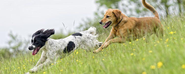 Depende de la raza y del tamaño de nuestro perro dependerá el momento en el que aparezca el celo