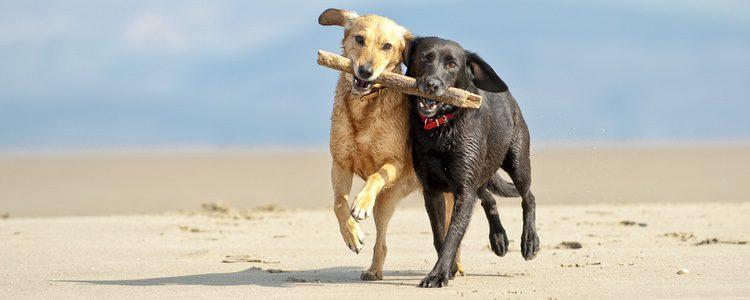 No intentéis hacer que los perros se reproduzcan antes de lo debido ya que podrá causarles daño a su salud