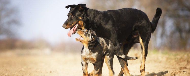 Esta raza son unos perros muy protectores con sus amos y sus crías