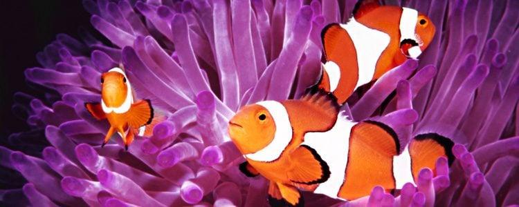 El pez payaso es muy conocido por el personaje de Nemo en 'Buscando a Nemo'