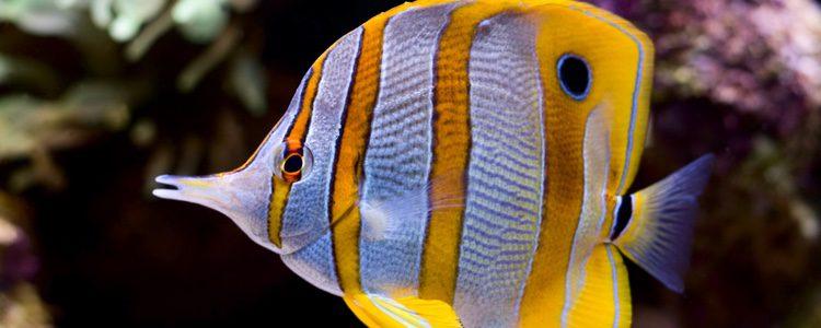 El pez mariposa es uno de los que mejor se adapta a los acuarios