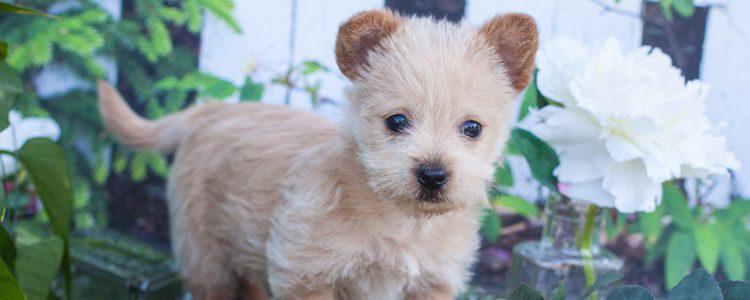 El Norwich Terrier tiene su origen en un condado de Inglaterra llamado Norfolk