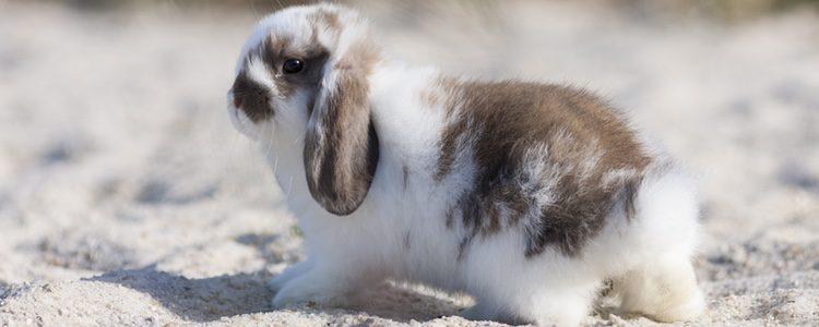 Este conejo se caracteriza por tener el pelo largo y las orejas caídas hacia abajo