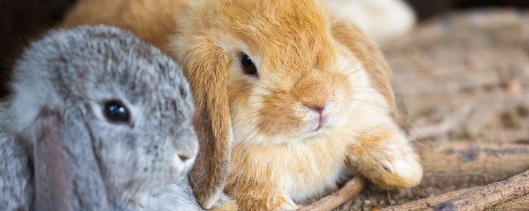 Las tonalidades son muy variadas según el conejo