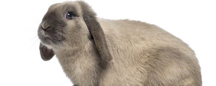 Los conejos Belier necesitan hacer ejercicio a diario