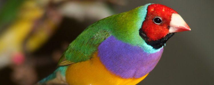 El Diamante de Gould es un ave exótica de colores muy llamativos