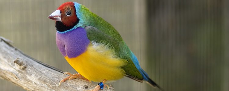 Este tipo de pájaro no requiere cuidados nada fuera de lo habitual