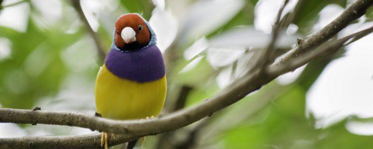 Son pájaros con una salud bastante buena que tienen una esperanza de vida de 4-8 años