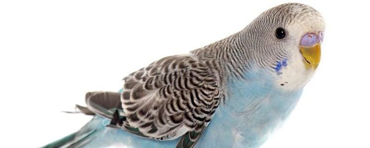 El periquito es una de las aves más popular entre las mascotas