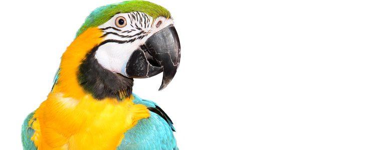 El guacamayo es una de las aves más vistosas y más grande que la especie anterior